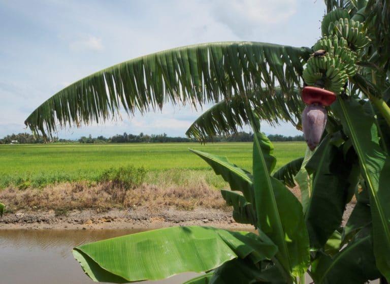 Reisebericht Malaysia Banane
