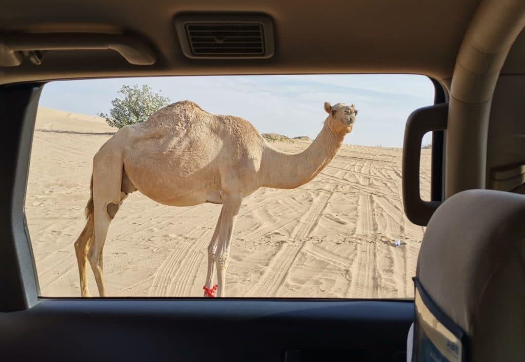 Reise nach Dubai Kamel Wüste