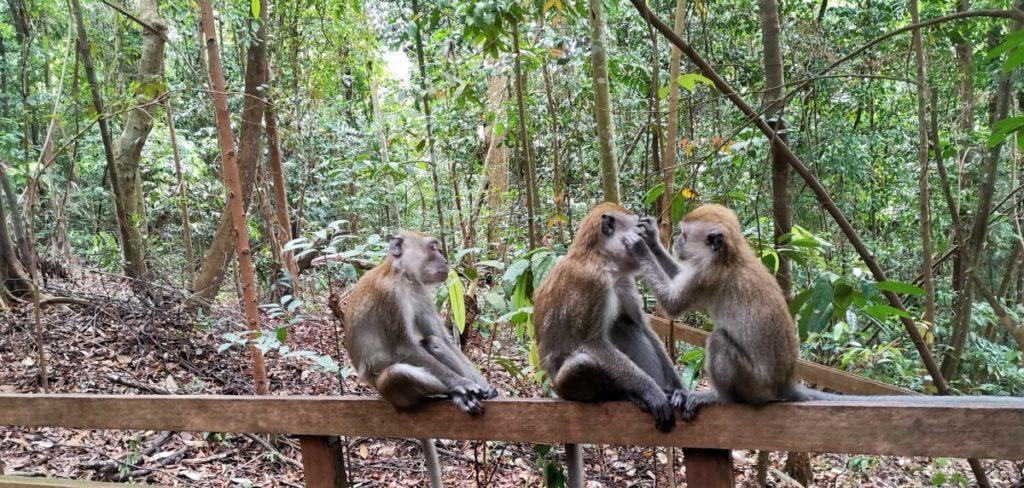 Reisetipps für Singapur Affen Kommunikation